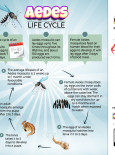 Aedes Life Cycle